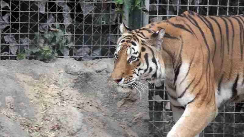 Фура с тиграми застряла на стоянке в Нур-Султане: видео с места события