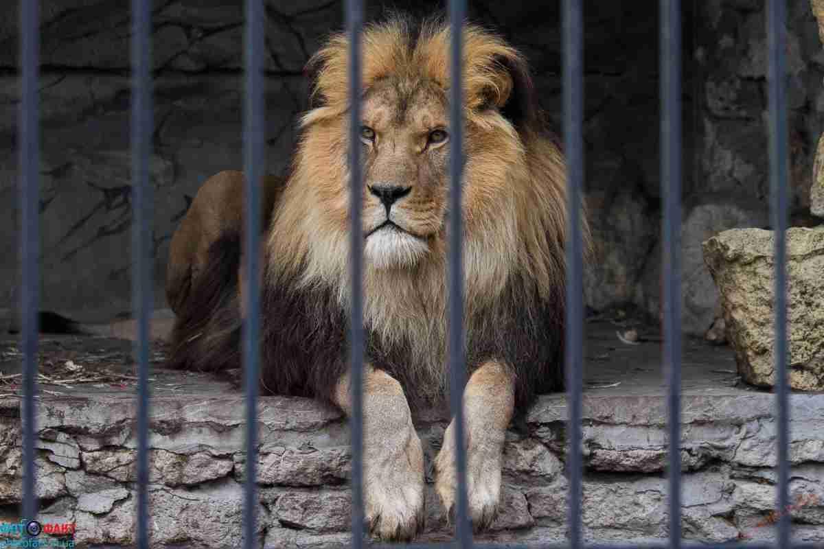 Львенок Симба добрался до зоопарка в Алматы