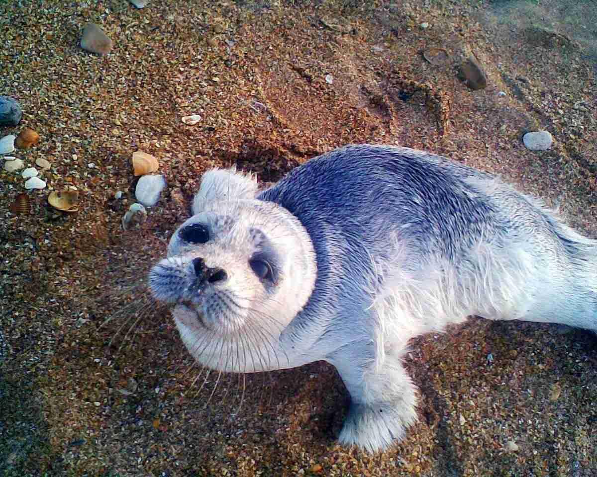 Каспийского тюленя возьмут под охрану государства