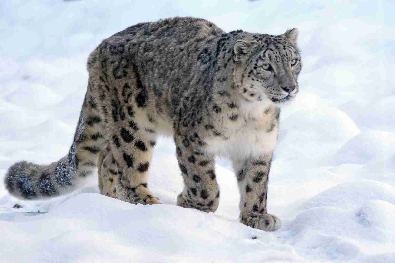 Самое красивое и редкое животное Казахстана попал в видео-ловушку