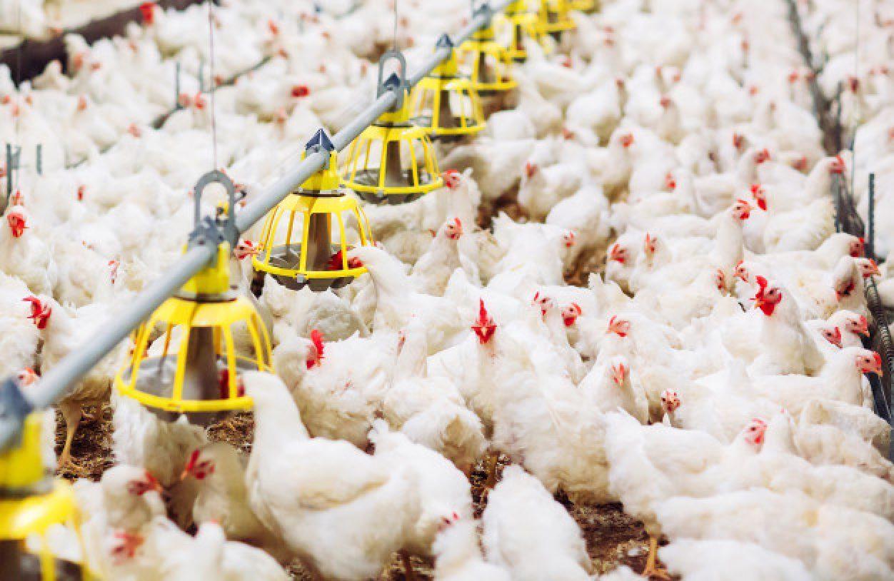 Птичий грипп в Казахстане: озвучены масштабы ущерба