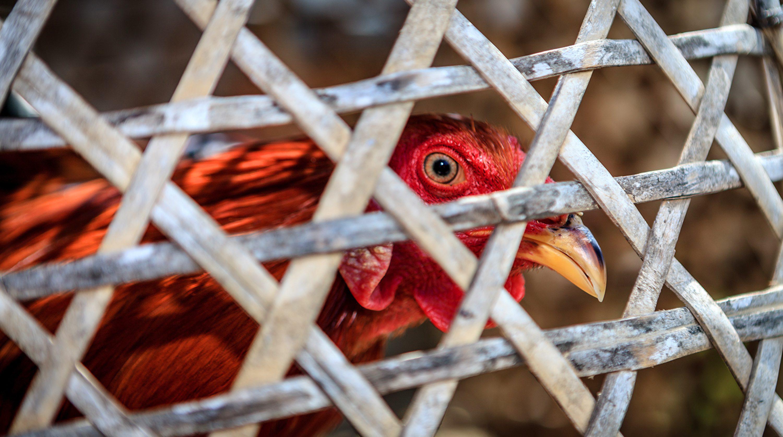 Вспышка птичьего гриппа в Казахстане: последствия для экономики