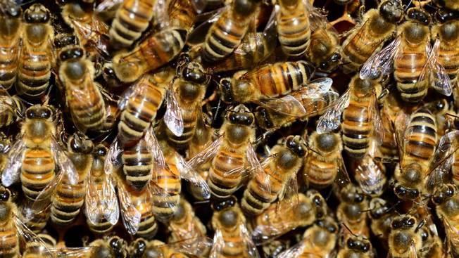 В Израиле изобрели роботизированный улей для пчел